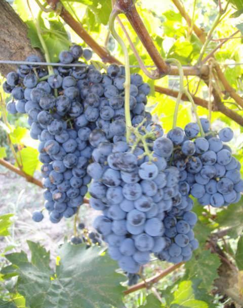 Фото винограда