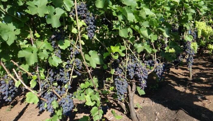 Виноград-видео по выращиванию и уходу 795