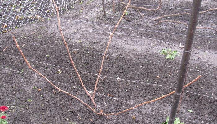 Выращивание винограда 1 год 75