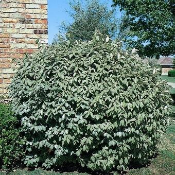 Растение лоха фото