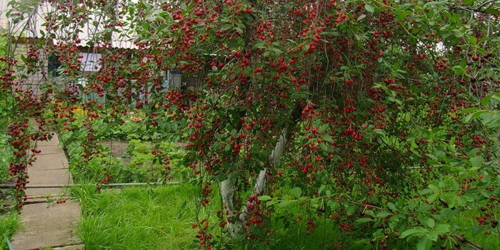Картинки по запросу вишня дерево