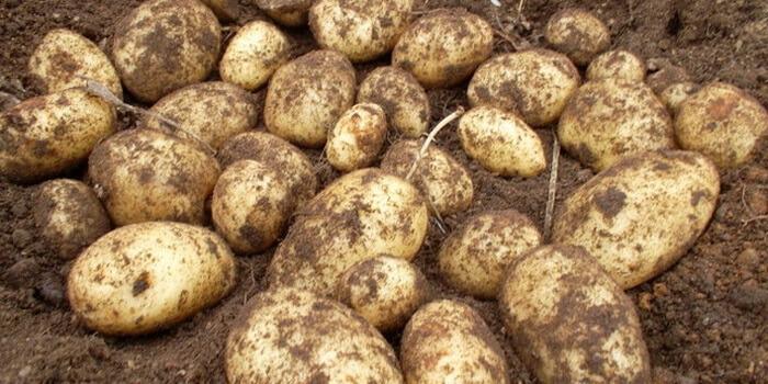адретта фото с сорта картофель