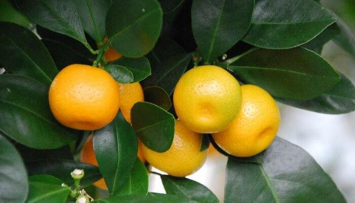 Сорт мандарины на букву к