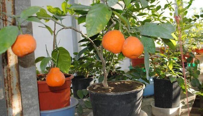 Клементин выращивание в домашних условиях 56