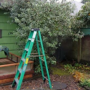 Фейхоа дерево фото