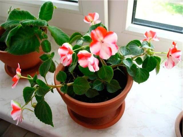 Как выглядит цветок бальзамин