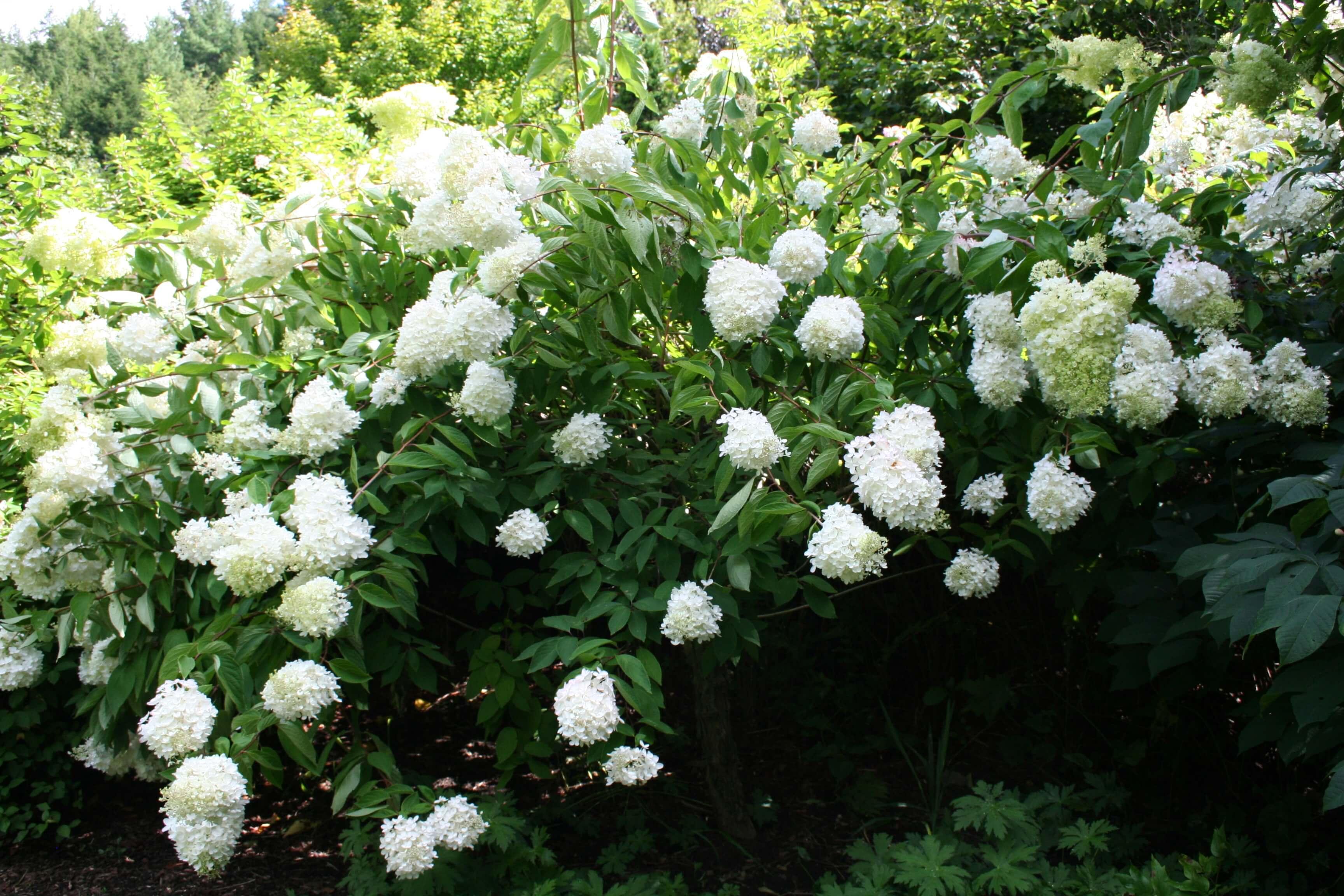 Цветы гортензия фото