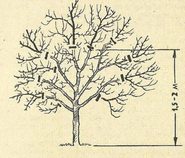 Обрезка груш весной: схема и видео пошагово.