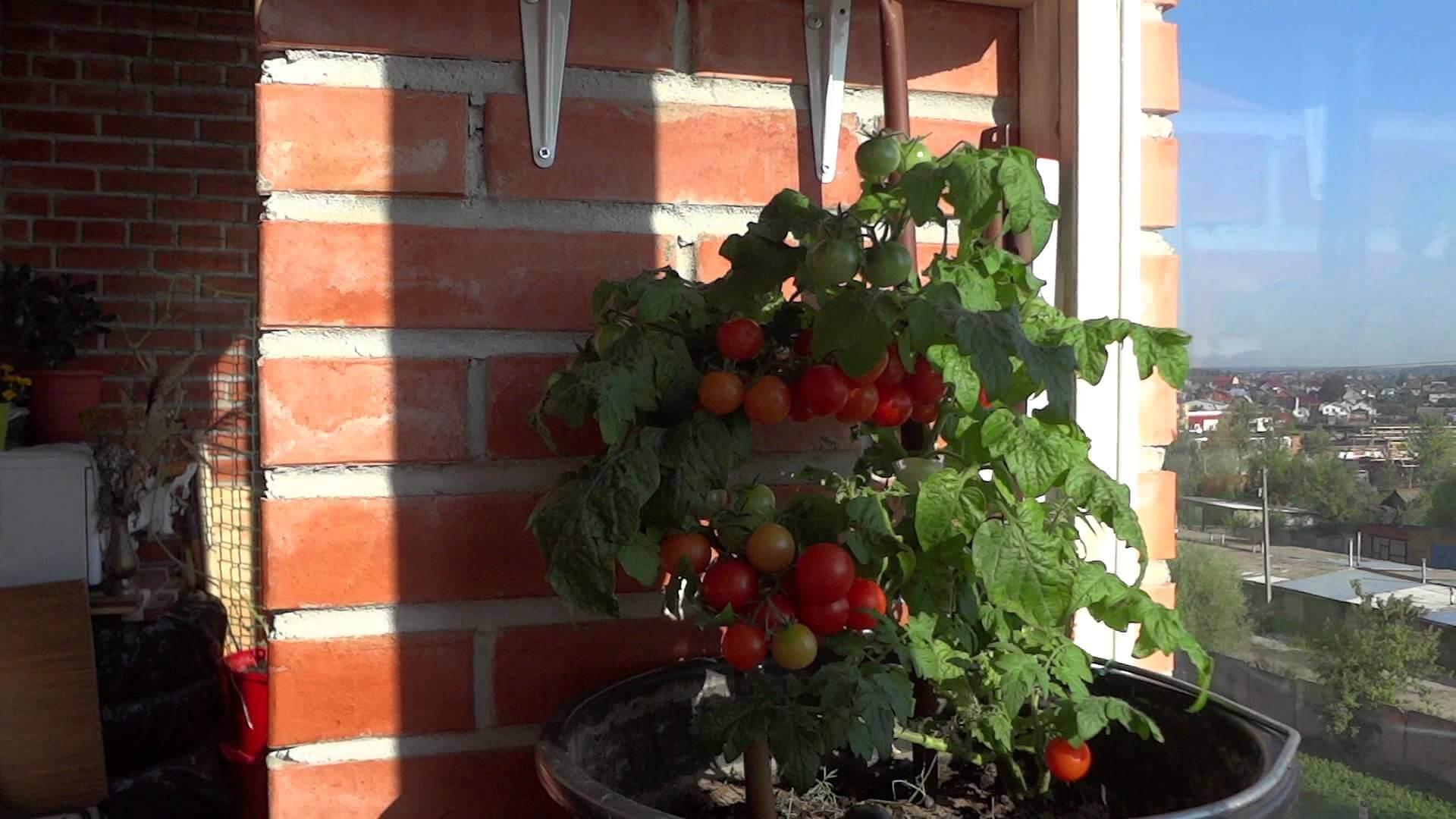Выращивание помидоров на балконе: пошаговые фото, видео уход.