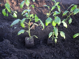 Перец выращивание