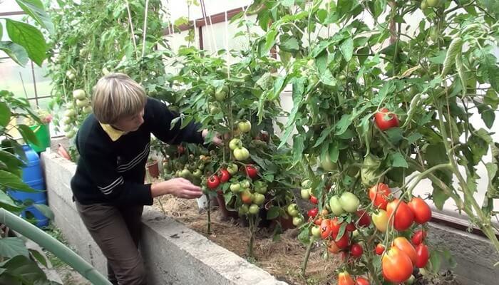Как формировать детерминантные томаты в теплице