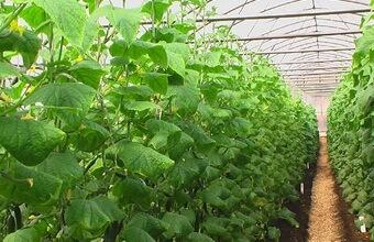Огурцы - выращивание, посадка, уход. В открытом 90