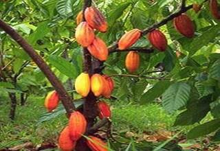 Шоколадное дерево какао: фото сортов, как посадить и как растут какао бобы