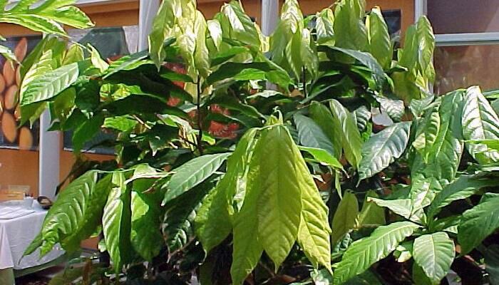 как вырастить шоколадное дерево в домашних условиях