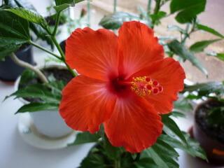 Цветок гибискус описание фото