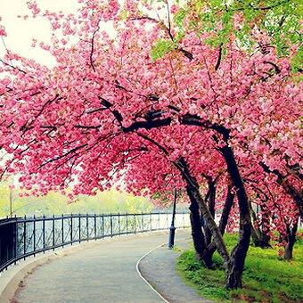 Yaponskaya Sakura Foto Cvetov Plodov Listev Opisanie Vidov