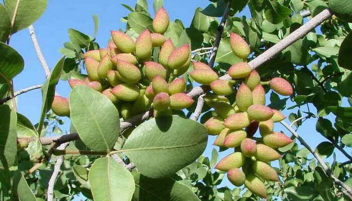 Плод внутри ореха