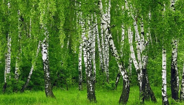 Бывают виды и разновидности деревьев