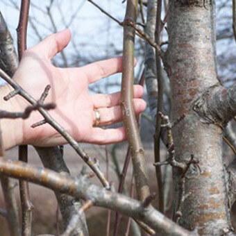 Обрезка деревьев груши весной и осенью, молодых и старых деревьев: фото, видео и описание
