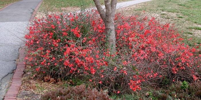 Японская айва выращивание и уход фото