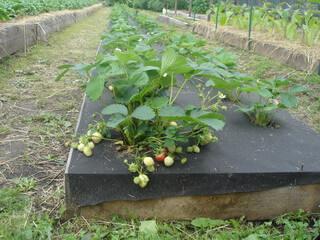 Выращивание и уход за земляникой 28