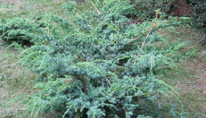 Juniperus chinensis stricta