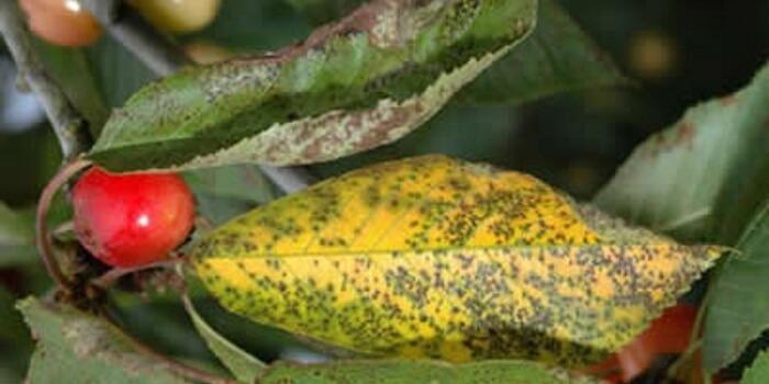 Вишня опадают и желтеют листья