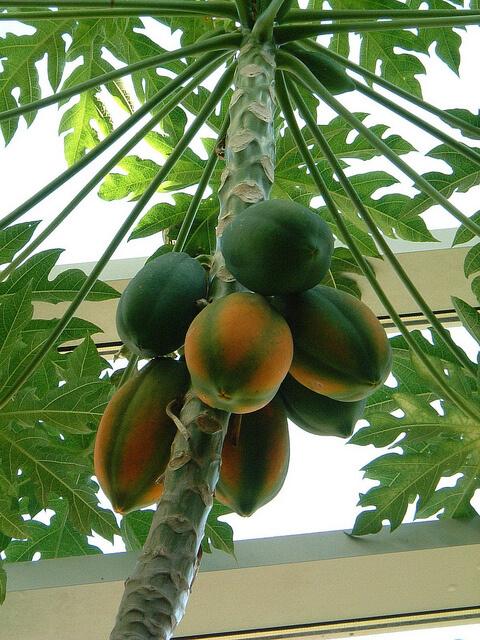 Как хранить папайю в домашних условиях