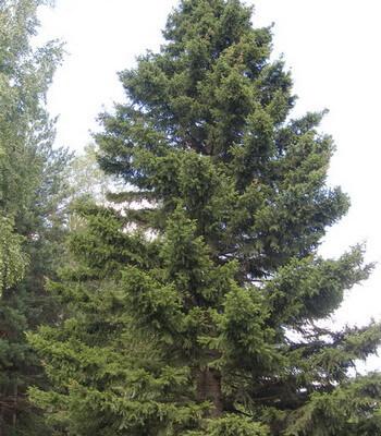 фото сибирская ель