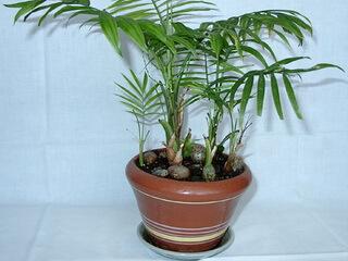 пальма фото в домашних условиях