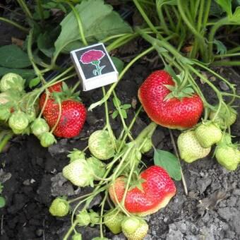Лучшие сорта клубники (садовой земляники) для Подмосковья: фото и описание перспективных сортов садовой земляники