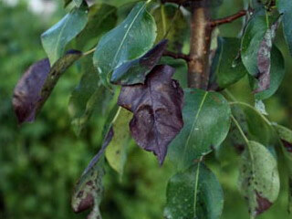 Болезни плодовых деревьев признаки и