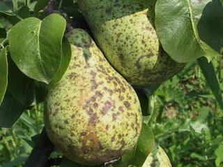 Яблонь и груш фотографии признаки и