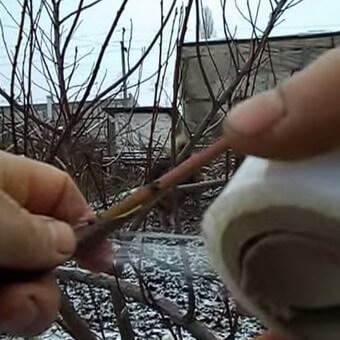 Прививка персика: видео, как привить персик на абрикос, сливу и алычу летом и весной