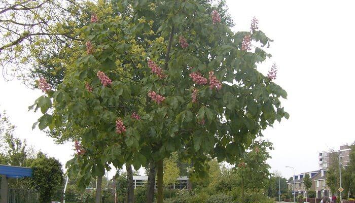 Дерево каштан фото