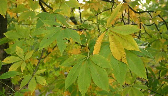 Каштан осенью фото