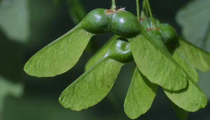 Клён канадский сахарный: фото дерева, разновидности и описание Крылатка Клена