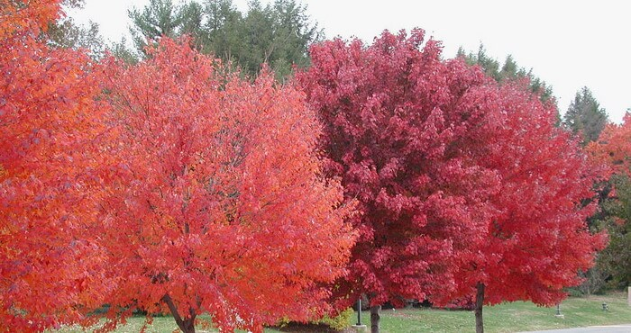 фото дуб канадский