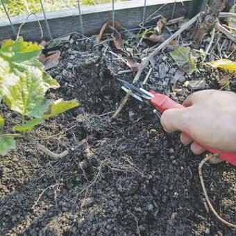 Красная смородина с фото и описанием: посадка, уход и размножение красной смородины