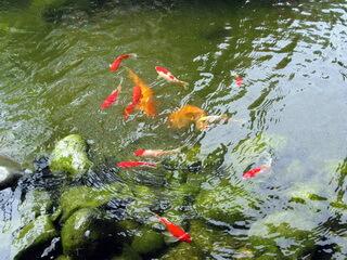 Декоративные рыбы для водоема