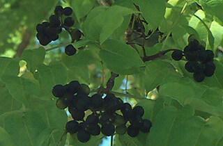 Бархат амурский: описание дерева, ягод, плодов и лечебных свойств с фото и вариантами применения