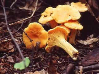 сырые грибы лисички от паразитов