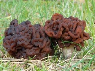 фото грибы строчки