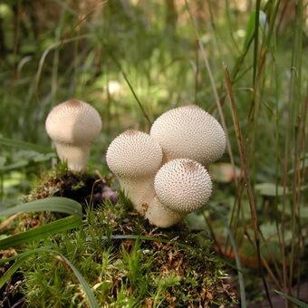 гриб съедобный с мягким знаком