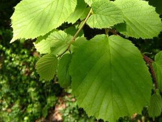 Как правильно посадить лещину осенью? В саду (Огород. ru) 55