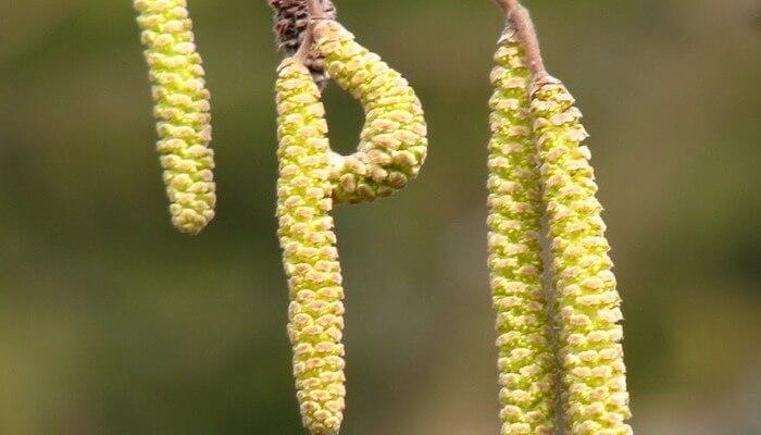 Как цветет орешник