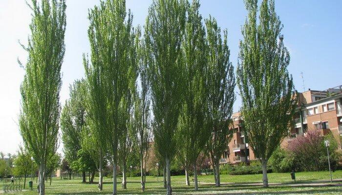 Картинки по запросу дерево Тополь