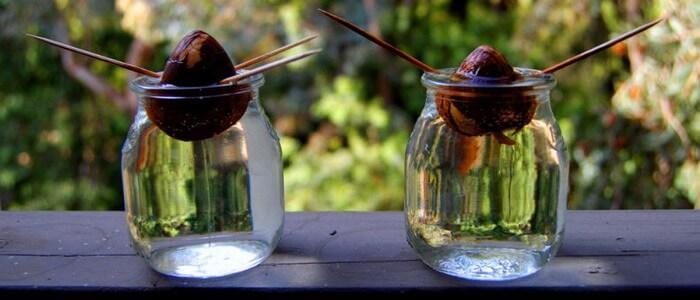 Как посадить косточку авокадо в домашних условиях фото пошагово в