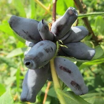 Жимолость съедобная: фото сортов, посадка, уход, выращивание и размножение растения, как обрезать жимолость