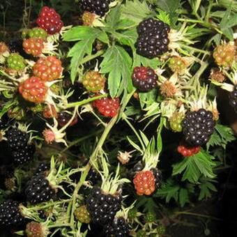 Ягодная ферма  элитная рассада и саженцы ягодных культур
